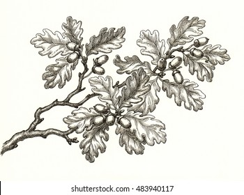 Ink and pen drawing, branch of oak tree with acorns on white background.