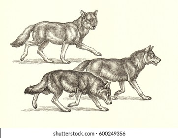 Ink and pen drawing illustration, three wolves on white background.