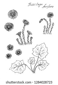 Ink sketch of  coltsfoot, Tussilago farfara  on white background