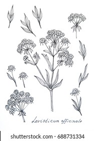 Ink sketch of Lovage (Levisticum officinale)  on white background