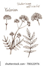 Ink sketch of  Valerian herb, Valeriana officinalis on white background
