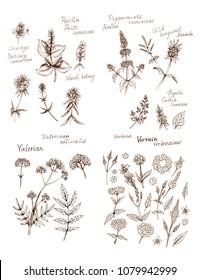 Ink sketches of  herbs - perilla, peppermint, wild bergamot, valeriana, verbena, vervain, wood betony