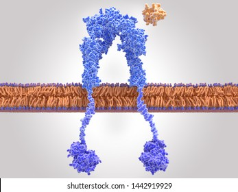 Insulin receptor inactivated, insulin is close to the binding site. Insulin binding activates a signal cascade leading to the transport of glucose into the cell. 3d rendering