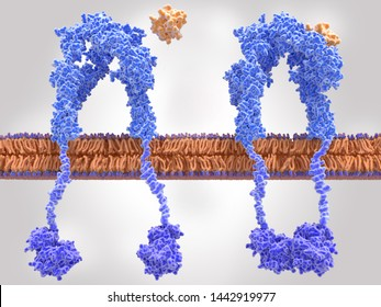 Insulin receptor inactivated (left) and activated (right), after insulin binding. Insulin binding activates a  signal cascade leading to the transport of glucose into the cell. 3d rendering