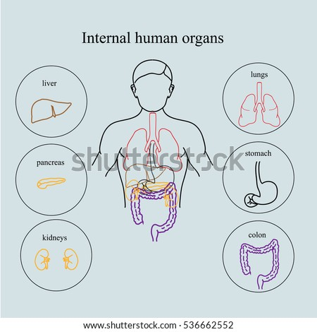 Internal Organs Human Body Anatomy People Stock Illustration