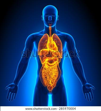 Internal Organs Male Organs Human Anatomy Stock Illustration