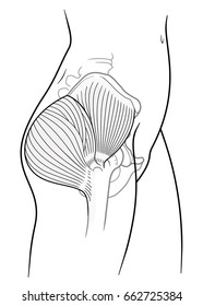 The internal structure of the human pelvic belt, gluteus maximus,  gluteus medius muscle, side view. On a white background