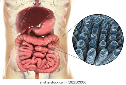 Intestinal anatomy and histology, 3D illustration showing parts of digestive system and close-up view of intestinal villi