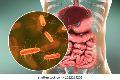 Intestinal microbiome, 3D illustration showing anatomy of human digestive system and enteric bacteria Escherichia coli, E. coli, colonizing jejunum, ileum, other parts of intestine. Gut normal flora
