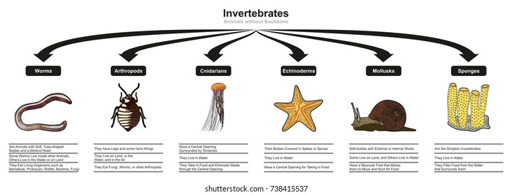 Invertebrates Animals Classification and Characteristics infographic diagram showing types including worm arthropod cnidarian echinoderm mollusk sponge for biology and morphology science education