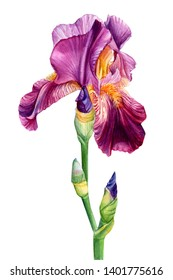 iris flower on an isolated white background, watercolor painting, botanical illustration