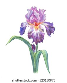 Iris painted with watercolors on white background.