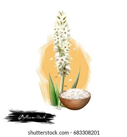 Isabgol Psyllium Husk Plantago ovata ayurvedic herb digital art illustration with text isolated on white. Healthy organic spa plant widely used in treatment, for preparation natural medicines