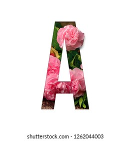 Isolated 3D Letter A alphabet made of real  pink roses flowers and leaves with paper cut on white background. Realistic shadow and paper cut design with flowers for concept card project.