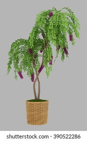 isolated 3d rendered bonsai wisteria in pot  with alpha channel