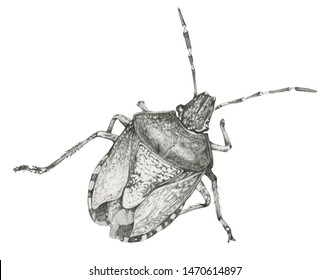Isolated bedbug. Hand drawn in pencil one isolated bedbug on white background