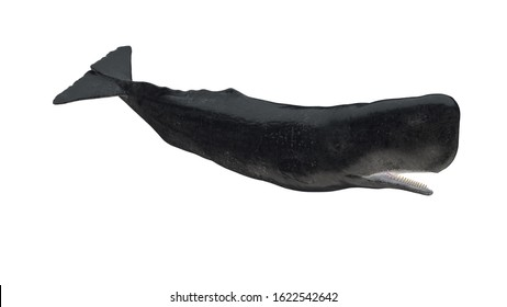 Isolated cachalot sperm whale tail down side profile view on white background open mouth 3d rendering