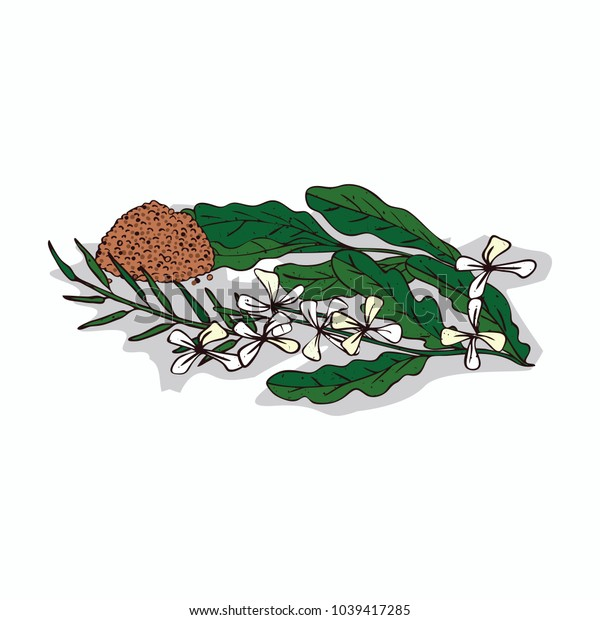 Isolated clipart of plant Taramira on white background. Botanical drawing of herb Eruca sativa with flowers and leaves, seeds. Raster version of illustration