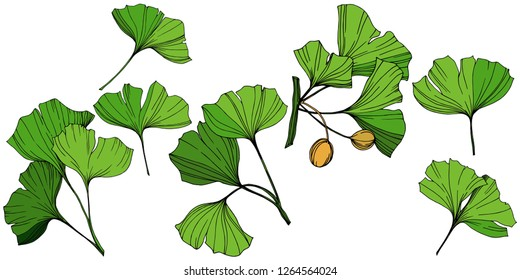 Isolated ginkgo illustration element. Green leaf. Plant botanical garden floral foliage. Green engraved ink art on white background.