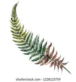 Isolated green fern illustration element. Watercolor background illustration set. Watercolour drawing fashion aquarelle isolated. Green leaf. Plant botanical garden floral foliage.