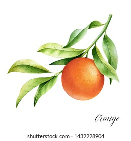 Isolated orange on a branch. Watercolor illustrartion of citrus tree with leaves and blossoms.