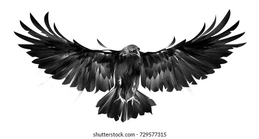 isolated picture of bird crows on white background in front