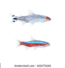 Isolated realistic Hemigrammus rhodostomus or Rummy-nose tetra and Paracheirodon axelrodi or Cardinal tetra  fishes colored pencils drawing on white background