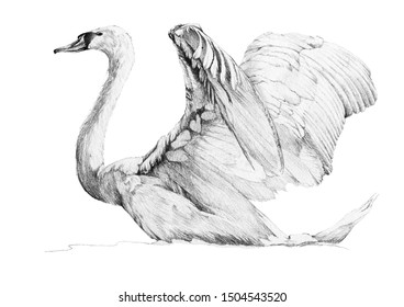 Isolated swan. Hand drawn in pencil one isolated swan on white background