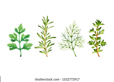 Isolated watercolor fresh parsley, rosemary, dill, thyme