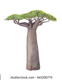 Isolated watercolor painting baobab tree over white background
