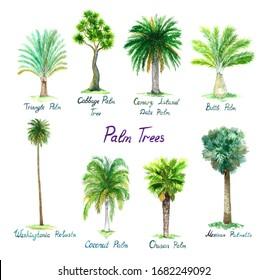Isolated watercolor palm collection Dypsis decaryi, Cordyline australis, Phoenix canariensis, Hyophorbe lagenicaulis, Washingtonia robusta, Cocos nucifera, Trachycarpus fortunei, Sabal mexicana