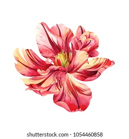 Isolated watercolor pink tulip on white background