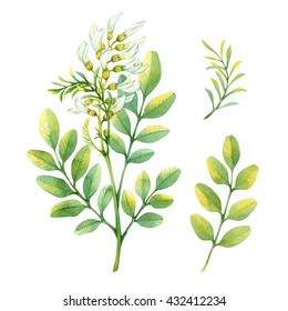 Isolated watercolor white acacia