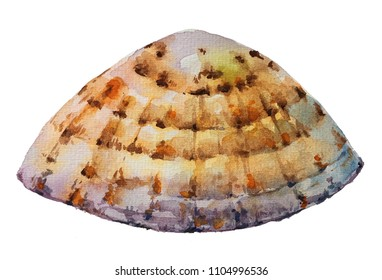 Isolated watercolour painting of common limpet on white background