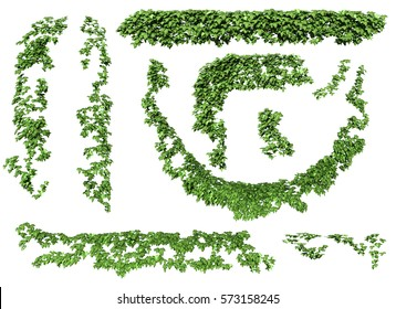 ivy leaves isolated on a white background. Green ivy plant isolated. 3D illustration.