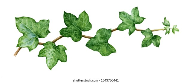 Ivy watercolor illustration. Green lush hedera helix close up image. Fresh botanical green stem with leaves and buds. Garden evergreen plant solated on white background.