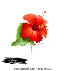Jaba - Hibiscus rosa-sinensis ayurvedic herb digital art illustration with text isolated on white. Healthy organic spa plant widely used in treatment, for preparation medicines for natural usages