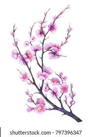 Japan sakura cherry branch with pink flowers. Watercolor hand drawn painting illustration isolated on a white background.