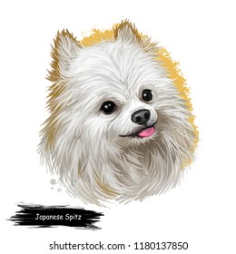 Japanese Spitz dog digital art illustration isolated on white background. Japan origin utility non-sporting northern breed dog. Pet hand drawn portrait. Graphic clip art design for web print