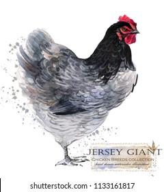 Jersey Giant hen. Poultry farming. Chicken breeds series. domestic farm bird watercolor illustration