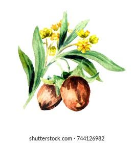 Jojoba branch composition. Watercolor hand drawn illustration