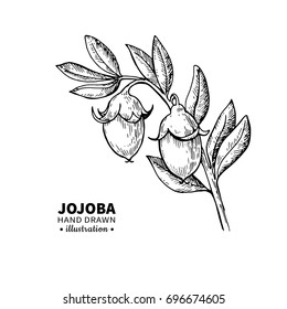 Jojoba drawing. Isolated vintage illustration of branch and fruit. Organic essential oil engraved style sketch. Beauty and spa, cosmetic ingredient. Great for label, poster, flyer, packaging design.