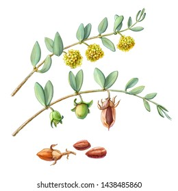 Jojoba Plant Branches, Flowers and Nuts Pencil Illustration Isolated on White