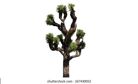 Joshua tree - isolated on white background