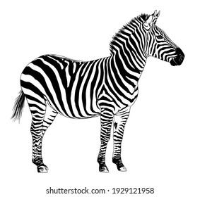 jumping striped African Zebra, hand-drawn in full- length