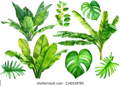 Jungle botanical watercolor illustrations, floral elements, set of banana palms, green leaves, a liana monstera