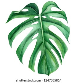 Jungle green leaves of monstera creepers on an isolated white background, watercolor illustration, botanical painting