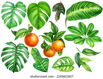 Jungle set of tropical plants, green leaves of on isolated white background, watercolor illustration, botanical painting, monstera, ficus, orange