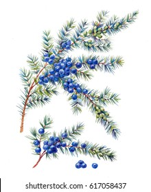 Juniper berries. Medicinal forest plants with watercolor on a white background.