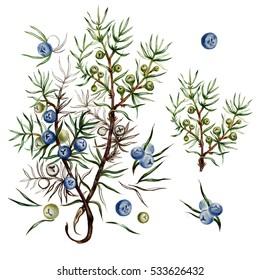 juniper botanical illustration.